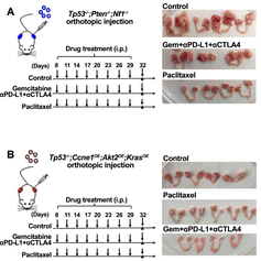 Genetically Defined Syngeneic Organoid Platform For Developing Combination Therapies For Ovarian Cancer The Neel Lab